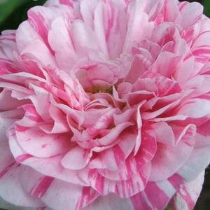 Rosa 'Madame Moreau' - vörös, fehér csíkos történelmi - moha rózsa