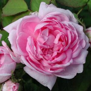 Rosa 'Marie de Blois' - Rózsaszín moha történelmi rózsa