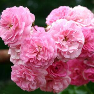 Rosa 'Minnehaha' - rózsaszín történelmi - rambler, futó - kúszó rózsa
