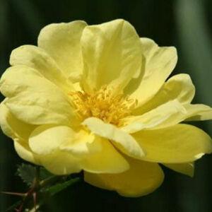 Rosa 'Rosa Harisonii' - halvány sárga történelmi - régi kerti rózsa