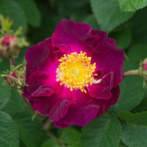 Rosa 'Violacea' - Lilás-piros gallica történelmi rózsa