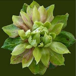 Rosa 'Rosa viridiflora' - zöld történelmi - china rózsa