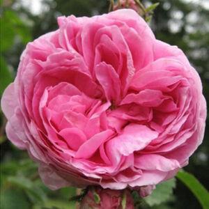 Rosa 'Rose des Peintres' - rózsaszín történelmi - centifolia rózsa