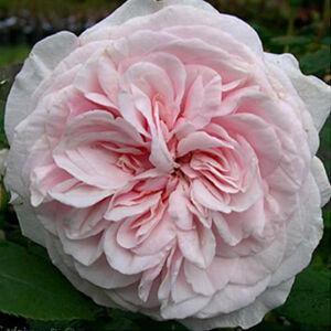Rosa 'Souvenir de la Malmaison' - fehér rózsaszín árnyékolás sötétebb külső szirmokkal történelmi - bourbon rózsa