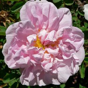 Rosa 'Stanwell Perpetual' - fehér halvány rózsaszín árnyékolással történelmi - perpetual hibrid rózsa