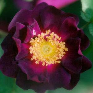 Rosa 'Tuscany Superb' - lilásbordó történelmi - gallica rózsa