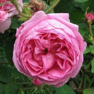 Rosa 'Typ Kassel' - Rózsaszín centifolia történelmi rózsa