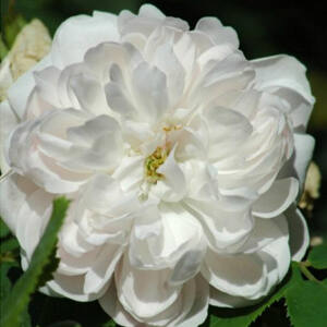 Rosa 'White Jacques Cartier' - fehér krémszínű történelmi - perpetual hibrid rózsa
