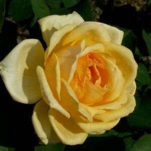 Rosa 'Venusic' - sárga teahibrid rózsa