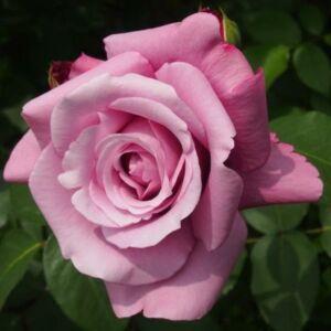 Rosa 'Blue (Violette) Parfum®' - Mályva keverék - virágágyi floribunda rózsa