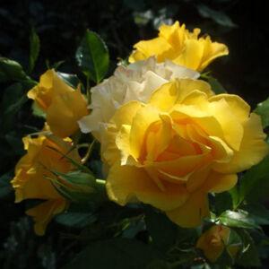 Rosa 'Adson von Melk' - sötét sárga virágágyi floribunda rózsa