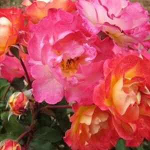Rosa 'Alfred Manessier' - aranysárga, élénkvörös keveréke virágágyi grandiflora rózsa