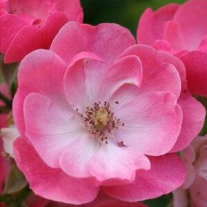 Rosa 'Angelica' - Rózsaszín virágágyi ágyás rózsa