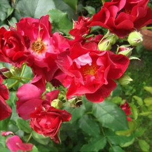 Rosa 'Anna Mége' - Piros virágágyi floribunda rózsa