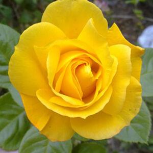 Rosa 'Arthur Bell' - aranysárga virágágyi floribunda rózsa