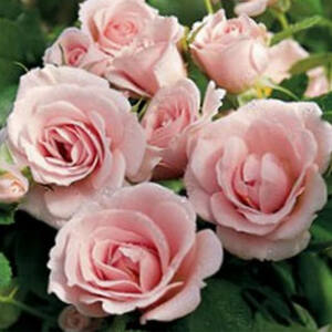 Rosa 'Baby Blanket®' - rózsaszín, arany-sárga porzóval virágágyi floribunda rózsa