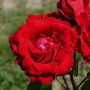 Rosa 'Burning Love' - Skarlátvörös virágágyi grandiflora -, floribunda rózsa