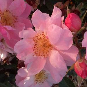 Rosa 'Chewgentpeach' - Rózsaszín virágágyi grandiflora -, floribunda rózsa
