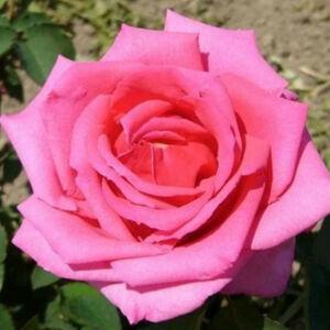 Rosa 'Chic Parisien' - korall-rózsaszín sötét rózsaszín középpel virágágyi floribunda rózsa