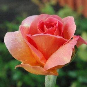 Rosa 'Courtoisie' - narancs-lazacszín virágágyi floribunda rózsa