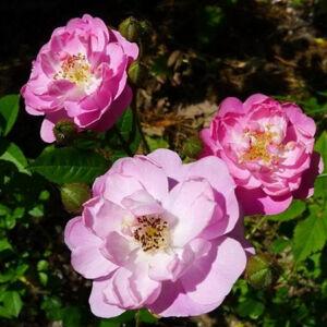 Rosa 'Csinszka' - világos vagy sötét rózsaszín fehér középpel virágágyi polianta rózsa