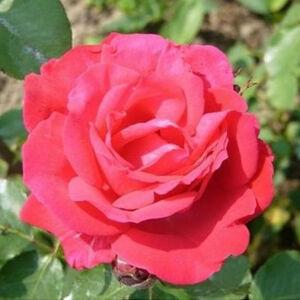 Rosa 'Dauphine' - rózsaszín, lazac rózsaszín virágágyi floribunda rózsa