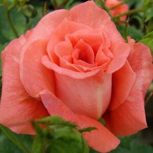 Rosa 'Diamant®' - narancspiros virágágyi floribunda rózsa