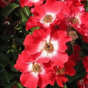 Rosa 'Eye Paint' - Élénkpiros-fehér virágágyi ágyás rózsa