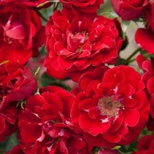 Rosa 'Fairy Dance' - piros virágágyi polianta rózsa