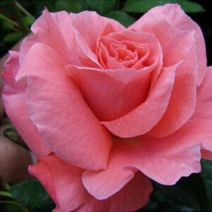 Rosa 'Favorite®' - lazac rózsaszín virágágyi floribunda rózsa