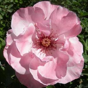 Rosa 'Geisha®' - Halvány rózsaszín virágágyi ágyás rózsa
