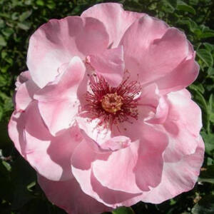 Rosa 'Geisha®' - halvány rózsaszín virágágyi floribunda rózsa