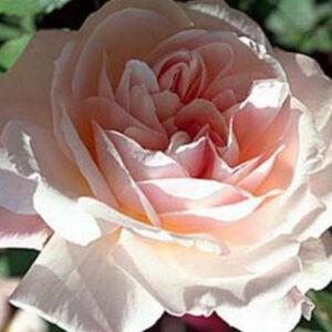 Rosa 'Grüss an Aachen' - világos rózsaszín virágágyi grandiflora - floribunda rózsa