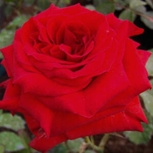 Rosa 'Hansestadt Lübeck®' - sötétpiros virágágyi floribunda rózsa