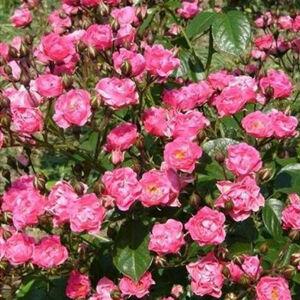 Rosa 'Ingrid Stenzig' - sötét rózsaszín virágágyi polianta rózsa