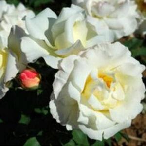Rosa 'Irène Frain' - fehér virágágyi floribunda rózsa
