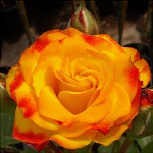 Rosa 'Jelroganor' - sárga-piros keverék virágágyi floribunda rózsa