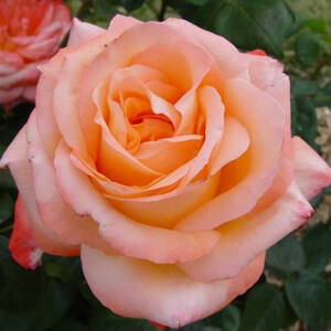 Rosa 'Frohsinn® (Joyfulness)' - Sárgabarack színű virágágyi ágyás rózsa