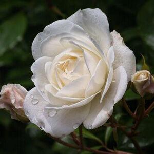 Rosa 'Schneewittchen® (Korbin)' - Fehér ágyás rózsa