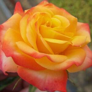 Rosa 'Samba®' - aranysárga, vörös futtatással, tűzvörössé válik virágágyi floribunda rózsa