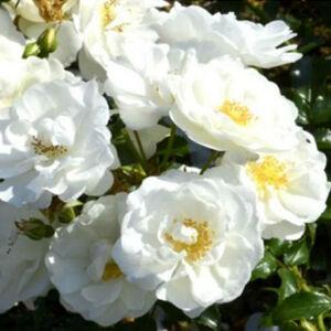 Rosa 'Escimo (Korcilmo)' - Fehér virágágyi floribunda rózsa