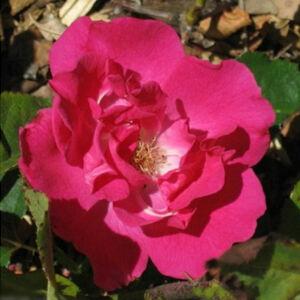 Rosa 'Lafayette' - sötét rózsaszín virágágyi polianta rózsa