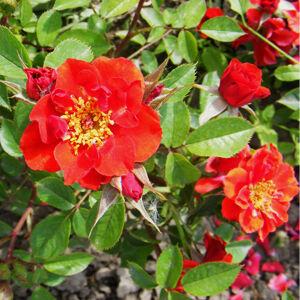 Rosa 'Libán' - Tűzpiros virágágyi floribunda rózsa