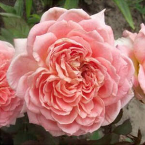 Rosa 'Louise De Marillac' - közép rózsaszín virágágyi floribunda rózsa