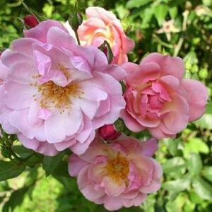 Rosa 'Märchenland®' – Lazacrózsaszín virágágyi ágyás rózsa