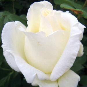 Rosa 'Mount Shasta' - fehér virágágyi grandiflora - floribunda rózsa
