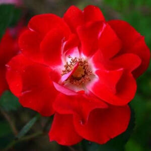 Rosa 'Picasso' - Sötét rózsaszín, fehér közepű ágyás rózsa