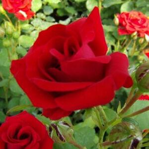 Rosa 'Nina Weibull® (Poulwei)' - Piros ágyás rózsa