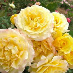 Rosa 'Rivedoux-plage' - Aranysárga, rózsaszín szegélyű virágágyi floribunda rózsa