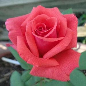 Rosa 'Rosalynn Carter' - korall-piros narancssárga árnyalattal virágágyi grandiflora - floribunda rózsa